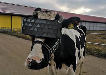 如何让奶牛快乐产奶?戴VR眼镜!